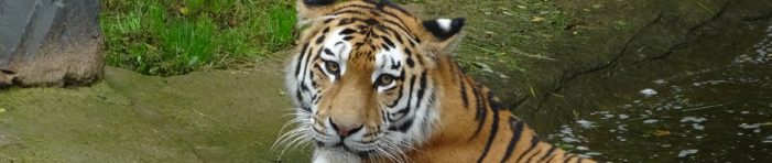 Zoo Duisburg: Die Tiger sind los