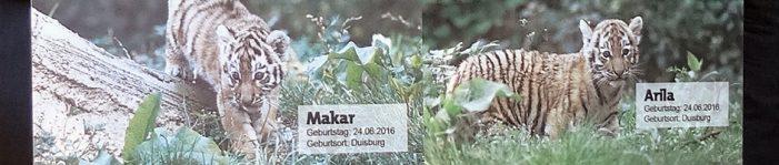 Zoo Duisburg:  Namenswettbewerb entschied, die kleinen Tiger heißen Makar und Arila