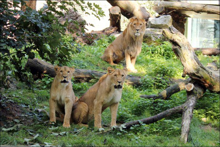 Zoo Duisburg: Das Löwenrudel am Kaiserberg