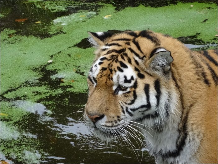Zoo Duisburg: Tigernachwuchs im Flegelalter