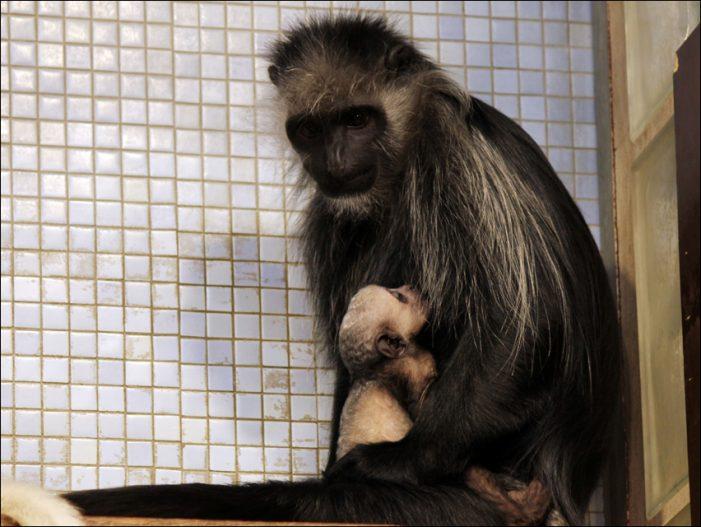 Zoo Duisburg: Seltener Nachwuchs bei den Bärenstummelaffen