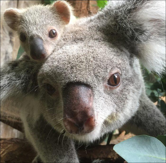 Zoo Duisburg: Nachwuchs im Koalahaus
