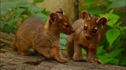 Von Duisburg in die ganze Welt: Fossa-Nachwuchs verlässt den Zoo im Rahmen der Erhaltungszucht