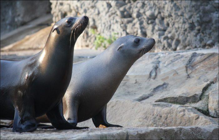 Seelöwenkindergarten am im Zoo am Kaiserberg: Der kleine Jonny lernen Fisch zu fressen