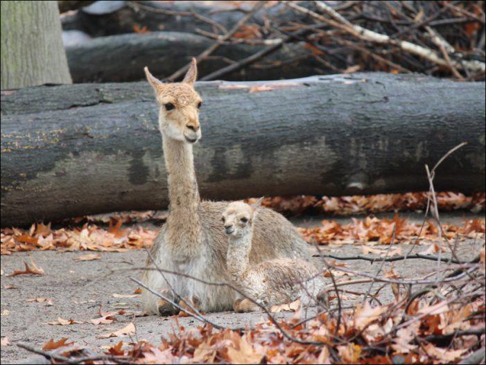 Nachwuchs bei den Vikunjas: Zoo Duisburg züchtet kleine Kamelart erstmalig nach