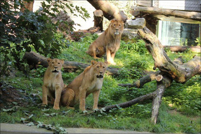 Zoo Duisburg erweitert die Außenanlage für seine Löwen