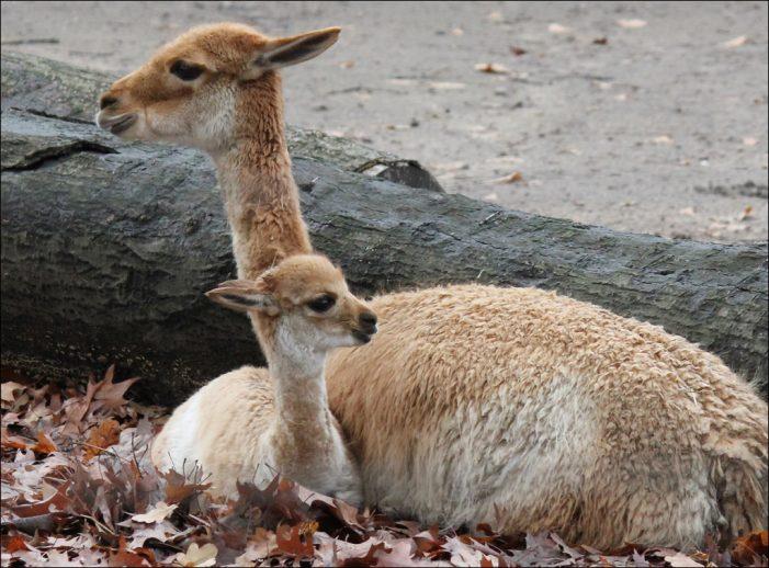 Zoo Duisburg: Vikunjanachwuchs bekommt einen Namen