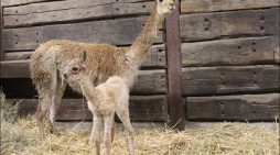 Zoo Duisburg freut sich über erneuten Nachwuchs bei den Vikunjas