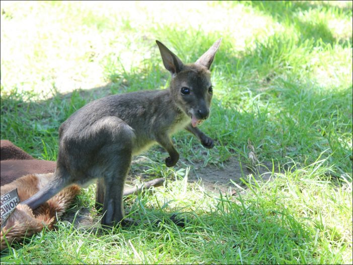 Neues Zuchtmännchen bei den Bennett-Kängurus im Zoo Duisburg: Känguru-Nesthäkchen Lizzy kann somit bleiben