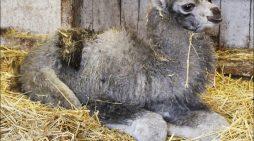 Nachwuchs bei den Trampeltieren im Zoo Duisburg: Holpriger Start ins Leben