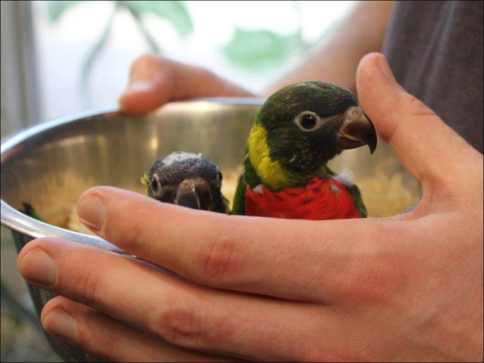 Zoo Duisburg: Nachwuchs bei den Forsten-Allfarbloris