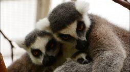 Nachwuchs bei den Kattas: Zoo Duisburg hofft auf weitere Geburten bei den Lemuren