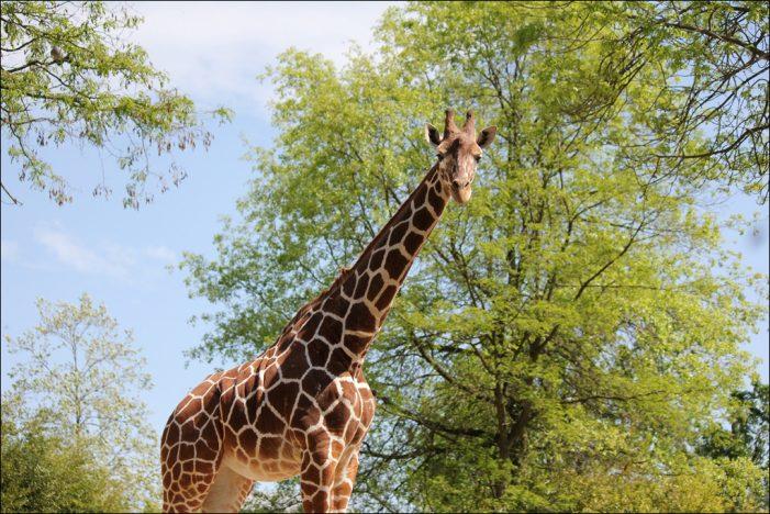 Giraffenjungspund Najla: Wenn ein Langhals aus dem Zoo Duisburg auf Reisen geht
