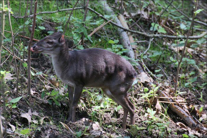 Einmalig in Deutschland: Mini-Antilopen sind nur im Zoo Duisburg zu sehen