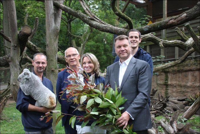 Jubiläum im Zoo Duisburg: 25 Jahre Koalahaltung am Kaiserberg
