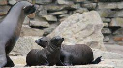 Zoo Duisburg: Dreifacher Nachwuchs bei den Kalifornischen Seelöwen