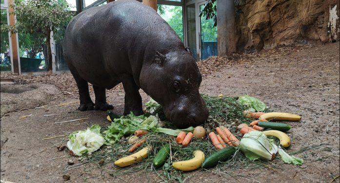 Zoo Duisburg: Ein Hippo mit Charakter