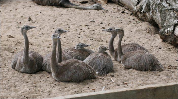 Nachwuchs im Zoo Duisburg: Herr Nandu ist Alleinerziehend