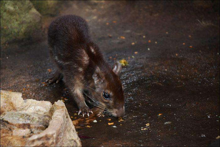Zoo Duisburg: Pakas überraschen Tierpfleger mit Nachwuchs