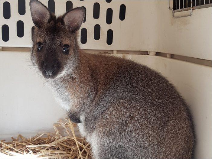 Känguru Skippy findet im Zoo Duisburg ein neues Zuhause