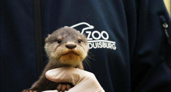 Zoo Duisburg: Putziger Zwergotter-Nachwuchs am Kaiserberg