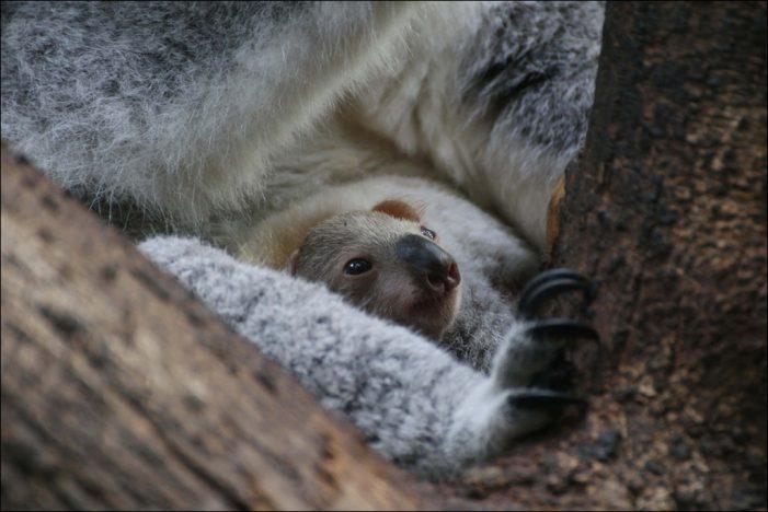 Große Freude im Zoo Duisburg: Babykoala zeigt sich erstmals am Kaiserberg