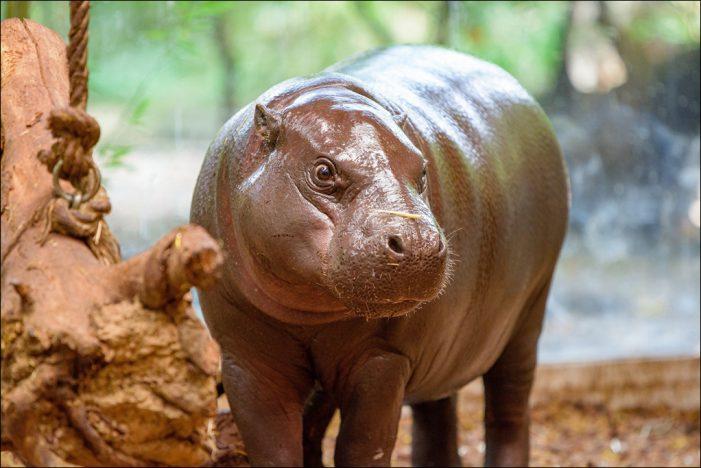 Zoo Duisburg verabschiedete die 2017 geborene Zwergflusspferd-Dame