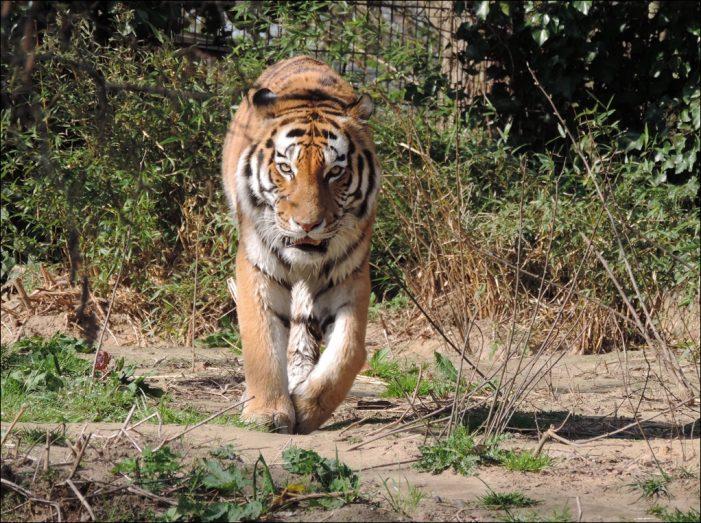 Zoo Duisburg: Tiger El-Roi bekam Besuch vom Zahnarzt