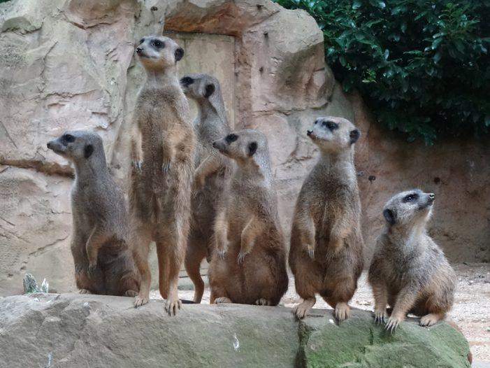 Zoo Duisburg: Neue Erdmännchen sind eingezogen