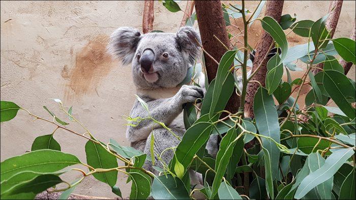 Zoo Duisburg begrüßt das Koalamännchen Tinaroo