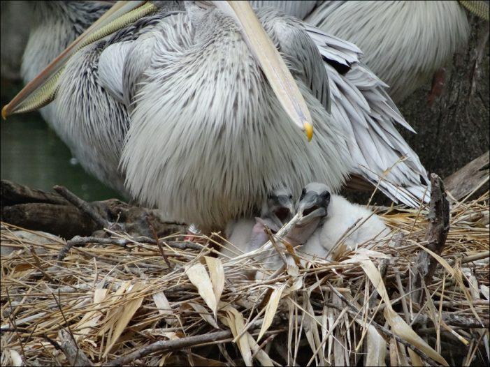 Zoo Duisburg: Bisher sind zwei Pelikanküken geschlüpft