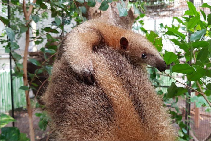 Zoo Duisburg: Erneut Nachwuchs bei den Kleinen Ameisenbären