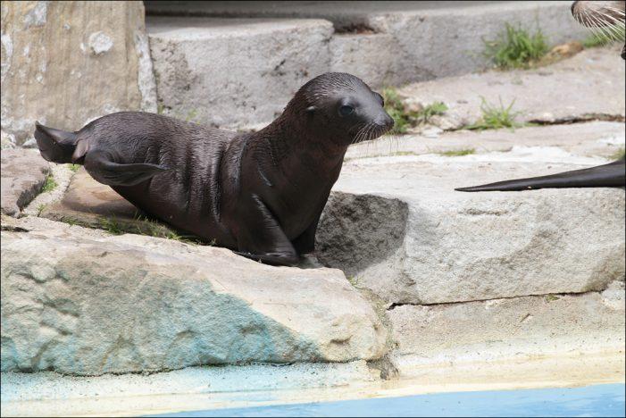 Zoo Duisburg: Seelöwennachwuchs zeigt sich immer häufiger den Besuchern