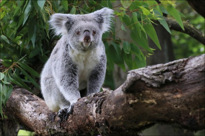 Zoo Duisburg: Doppelter Nachwuchs im Koalahaus