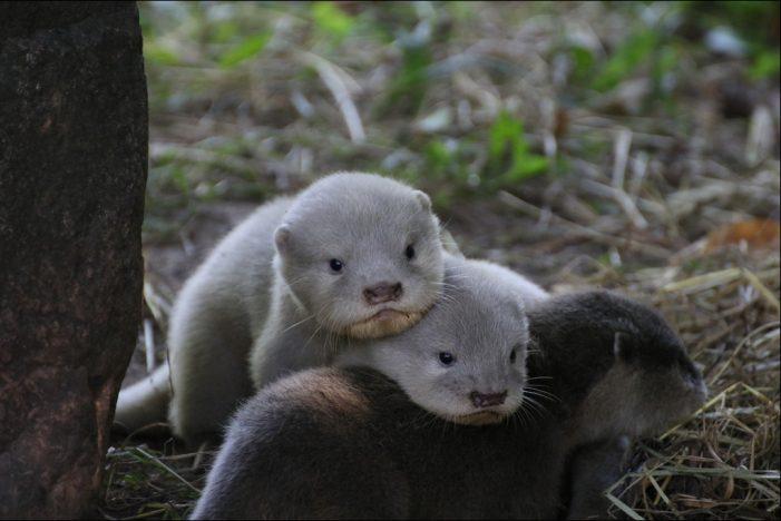 Zoo Duisburg: Flauschiger Nachwuchs bei den Zwergottern