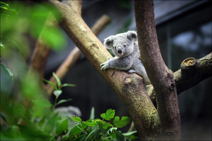 """Zoo Duisburg: Koalajungtier hört auf den Namen """"Tarni"""""""