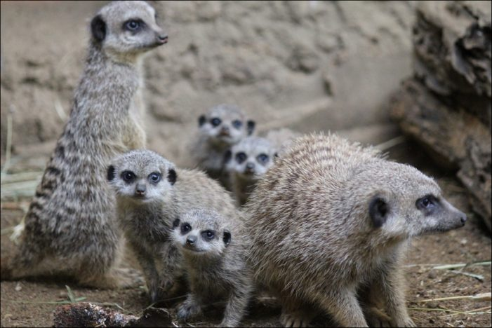 Zoo Duisburg freut sich über die Geburt von gleich vier Mini-Erdmännchen