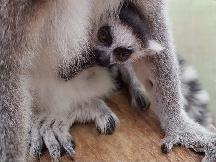 Zoo Duisburg: Putzmunterer Nachwuchs bei den Kattas