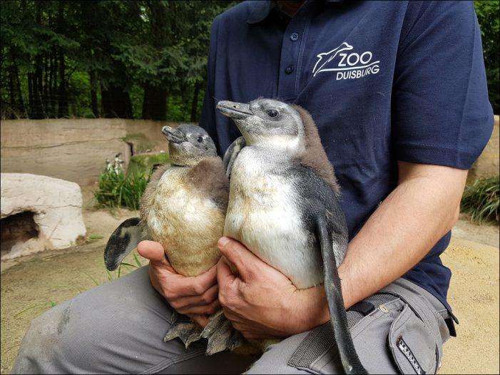 Zoo Duisburg freut sich über zwei Pinguinküken