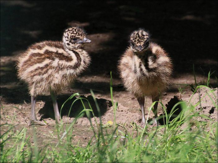 Tierkinder im Streifen-Look: Die Emus im Zoo Duisburg haben Nachwuchs