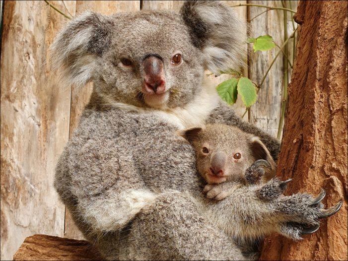 Erneuter Zuchterfolg in Zoo Duisburg: Koala Yiribana hat Nachwuchs