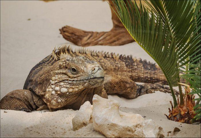 Leguaninsel im Zoo Duisburg: Erste Tiere sind eingezogen