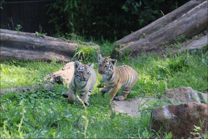 Zoo Duisburg: Tigerjungtiere erobern Außenanlage