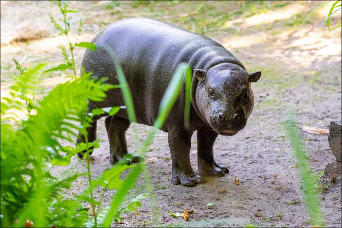 Zoo Duisburg: Das Zwergflusspferd-Jungtier wird erwachsen