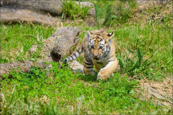 Zoo Duisburg: Namenswettbewerb für Mini-Tiger startet