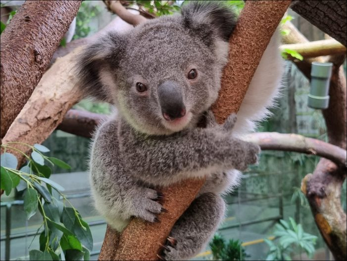 Tradition im Koalahaus: Kleines Beuteltier im Zoo Duisburg hat einen besonderen Namen bekommen