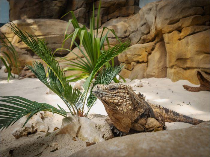 Karibische Insellandschaft im Zoo Duisburg: Die Leguaninsel ist eröffnet